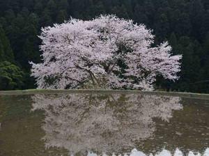 Sakura3burogu_5
